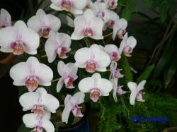 夢の島熱帯植物館のラン15