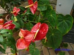 練馬区立温室植物園の花2