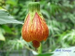 練馬区立温室植物園の花12
