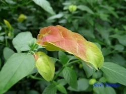 練馬区立温室植物園の花13