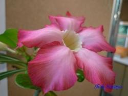 練馬区立温室植物園の花15