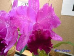 練馬区立温室植物園の花16