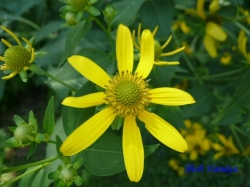 小石川植物園8月の花2