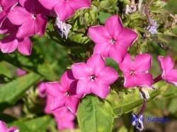 向島百花園8月の花2