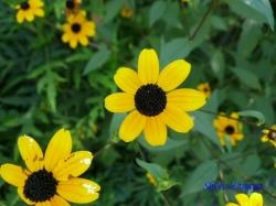 向島百花園8月の花3