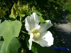 向島百花園8月の花4