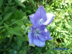 向島百花園8月の花5