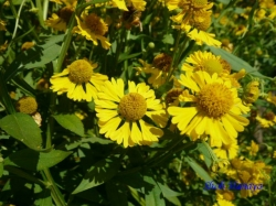 向島百花園8月の花7