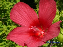 向島百花園8月の花9