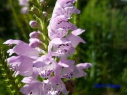 向島百花園8月の花10