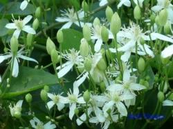 向島百花園8月の花11