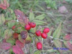 小石川植物園9月の花10
