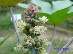 小石川植物園9月の花16