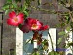 秋のバラフェスティバルの旧古河庭園その3_11