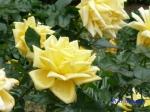 日比谷公園の秋バラその_2