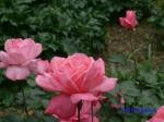 日比谷公園の秋バラその_3