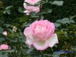 日比谷公園の秋バラその_4