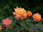 日比谷公園の秋バラその_6