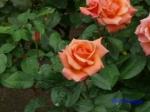 日比谷公園の秋バラその2_2