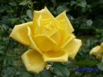 日比谷公園の秋バラその2_3