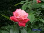 日比谷公園の秋バラその2_4