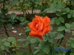 日比谷公園の秋バラその2_6