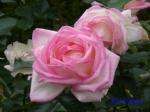 日比谷公園の秋バラその2_7