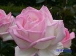 日比谷公園の秋バラその2_8