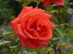 日比谷公園の秋バラその2_9