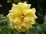 日比谷公園の秋バラその2_10