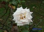 日比谷公園の秋バラその2_12