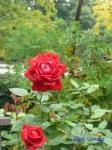 日比谷公園の秋バラその3_1