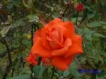 日比谷公園の秋バラその3_2