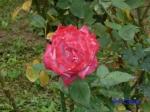 日比谷公園の秋バラその3_5