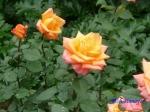 日比谷公園の秋バラその3_6