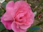 日比谷公園の秋バラその3_7