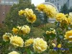 日比谷公園の秋バラその3_9