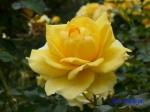 日比谷公園の秋バラその3_10