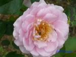 日比谷公園の秋バラその4_1