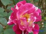 日比谷公園の秋バラその4_8
