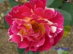 日比谷公園の秋バラその4_9
