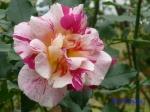 日比谷公園の秋バラその4_10