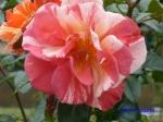 日比谷公園の秋バラその4_12