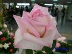 神代植物公園秋のバラ展を新宿駅西口広場で観賞その2_7
