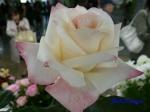 神代植物公園秋のバラ展を新宿駅西口広場で観賞その2_9