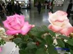 神代植物公園秋のバラ展を新宿駅西口広場で観賞その2_10