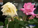 神代植物公園秋のバラ展を新宿駅西口広場で観賞その2_11
