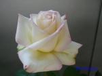 神代植物公園秋のバラ展を新宿駅西口イベント広場で観賞その3_2