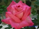 神代植物公園秋のバラ展を新宿駅西口イベント広場で観賞その3_4