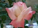 神代植物公園秋のバラ展を新宿駅西口イベント広場で観賞その3_5
